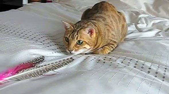 Bengal Cat Da Bird Cat Toy