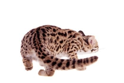 Asian Leopard Cat Tail