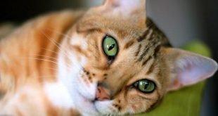 F4 Male Bengal Cat
