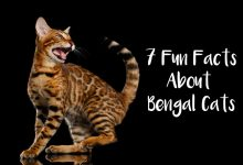 7 Fun Facts About Bengal Cats