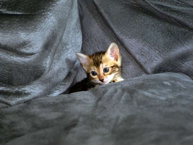 Bengal Cat Under Sheets 02