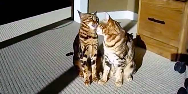 20 Bengal Cat Games and Ideas