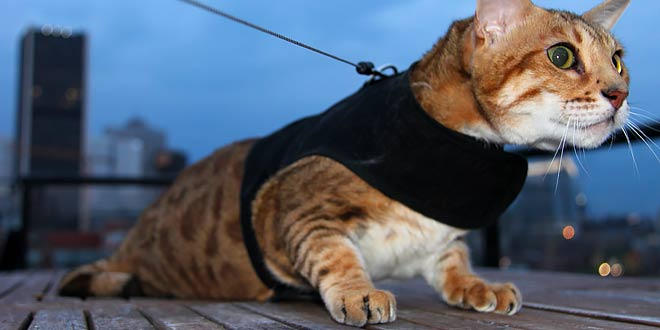 Bengal Cat Harness Leash