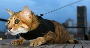 Bengal Kitty Holster Harness