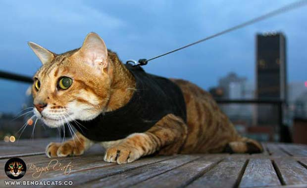 Bengal Cat Kitty Holster Harness
