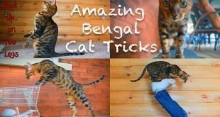Kaiser The Bengal Doing Amazing Cat Tricks