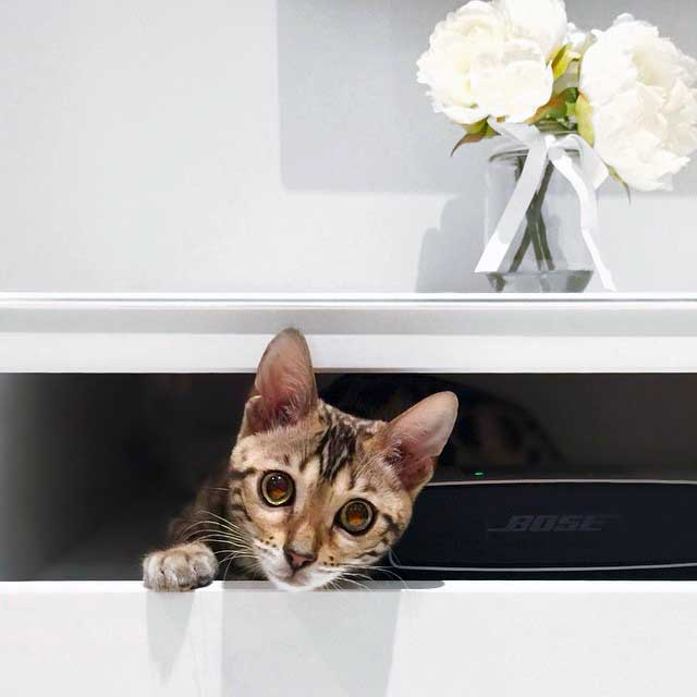 Lumi Bengal - Hiding in drawer