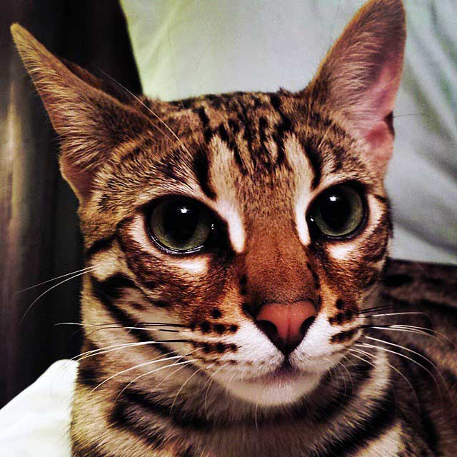 10 Photos Of Rajah The Majestic F1 Bengal Growing Up