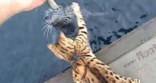 Iris the Bengal Cat & Popeye the Blind Harbor Seal