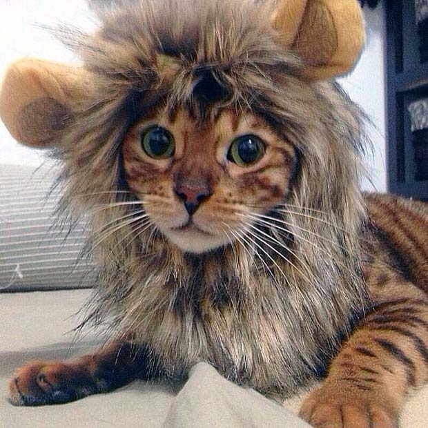 Lion Mane Hat Transforms Bengals Into Kings Of The Jungle