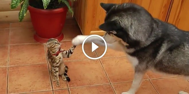 Bengal is a bit confused by husky's excitement to play