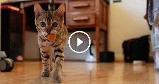 Bengal kitten plays fetch like a puppy