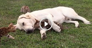 Labrador Retriever Loves and Protects his Bengal Kittens