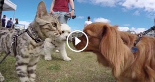 Boomer the Silver Bengal Goes Nose to Nose with 50 Dogs