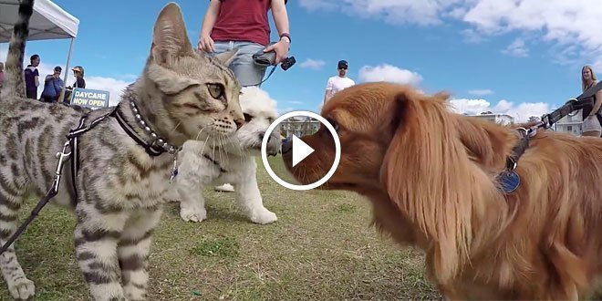 Boomer the Bengal poses as a dog at a dog show