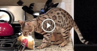 Sneaky Bengal Steals 1.6 lbs Cornish Hen Off Counter