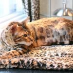 A bengal resting at Hair Salon in Montreal