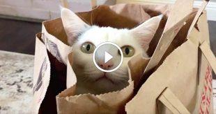 Hello Adele cat parody