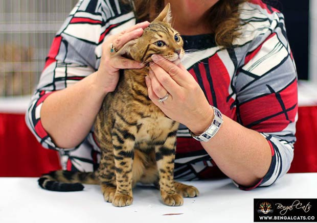 The Importance Of Selecting A Reputable Bengal Breeder