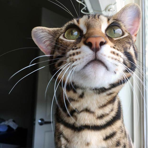 Cute F1 bengal cat face