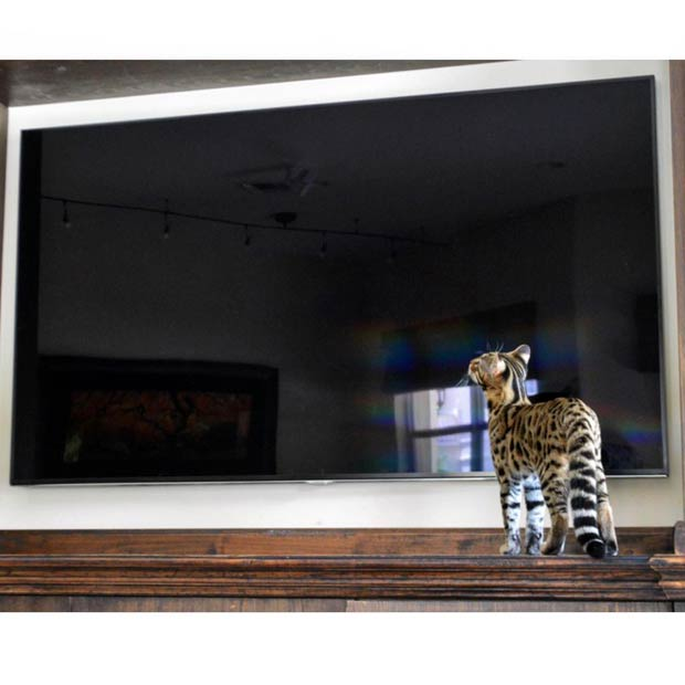 Bengal in front of a flat screen TV