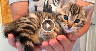 Robert Dollwet On Training A Bengal Cat