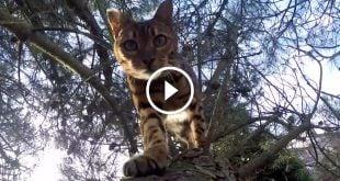 GoPro Follows a Bengal Cat's Backyard Adventures