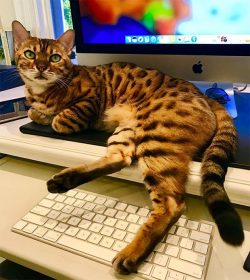 Doug Ellin's Bengal cat on the keyboard