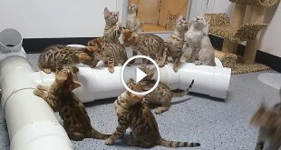 This One Thing Keeps 10 Bengal Kittens Mesmerized