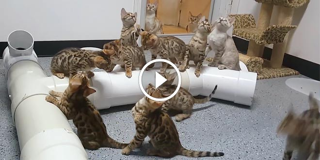 Bengal Kittens Mesmerized