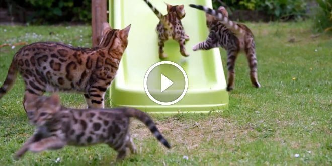 Bengal Kittens On A Slide Video