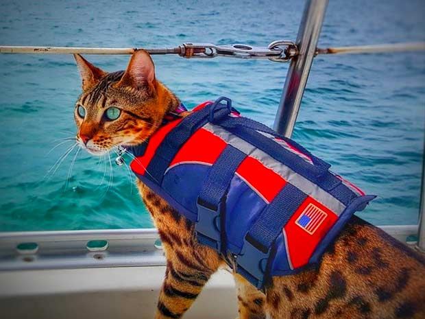 Bengal cat at sea wearing a life jacket for cats