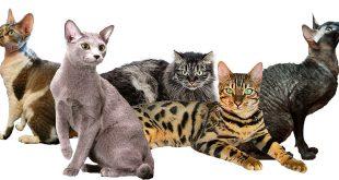 Chats Hypoallergéniques | Choix du chat et conseils pour les personnes allergiques