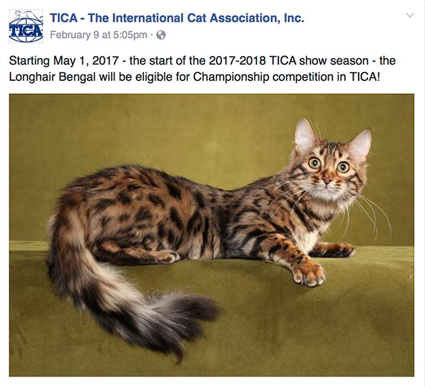 Longhair Bengal eligible for Championship competition in TICA
