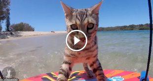 Boomer, Silver Bengal Cat Skimboarding