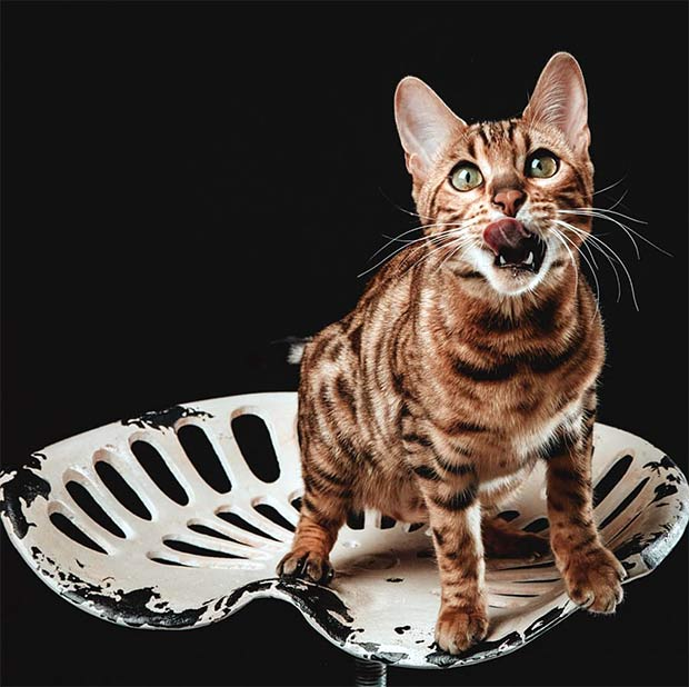 Bengal cat Zoey Tongue Out