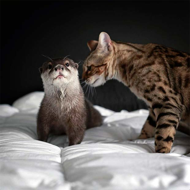 Otter and Bengal unusual friendship