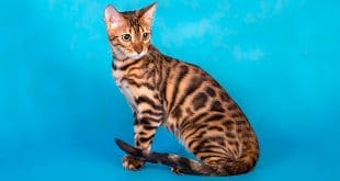 Bengal Cat Behaviors Explained