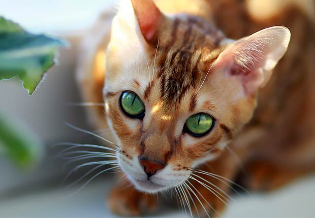 Bengal Cat Expensive Breeds