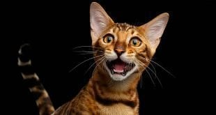 Identifying The Main Bengal Cat Noises