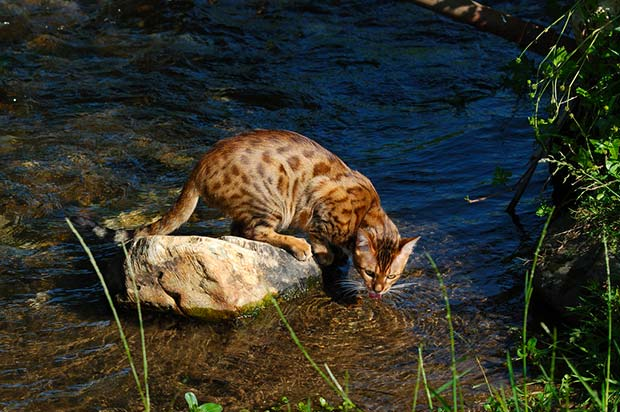 Bengal cat in water