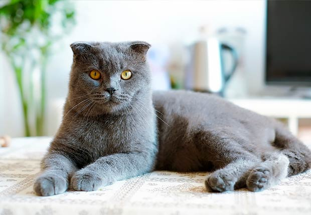 American shorthair cat breeders toronto