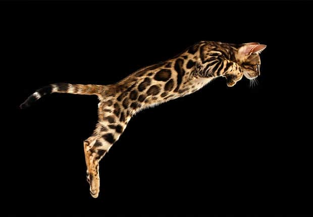 10 Most Beautiful Large Cat Breeds