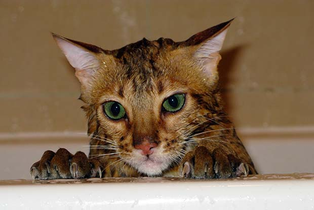 Cat taking a bath