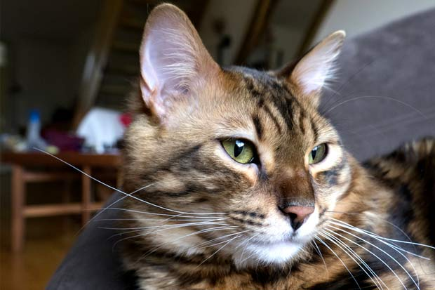 Marble Bengal cashmere cat