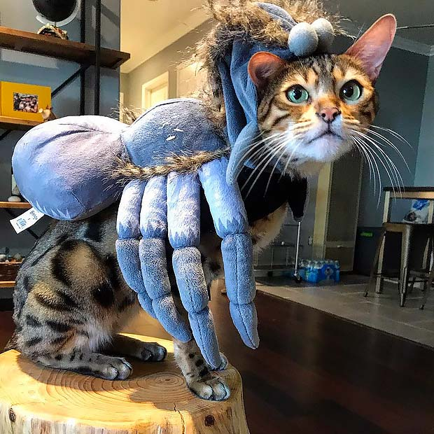 Bengal cat in a Tarantula spider outfit