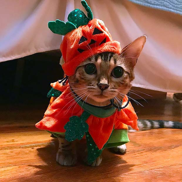 Bengal kitten in a Pumkin costume