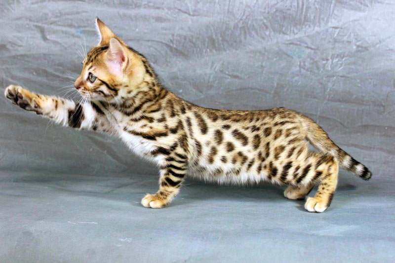 A-Kerrs Brown Rosetted Bengal Kitten