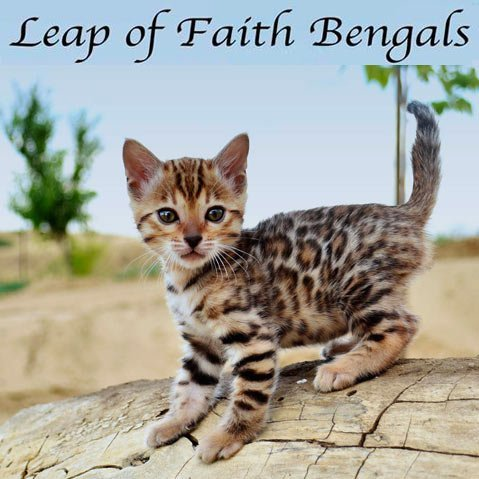 Leap of Faith Bengals