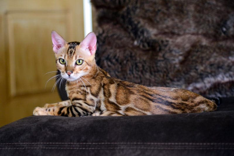 Leap of Faith - Large Brown Rosetted Bengal